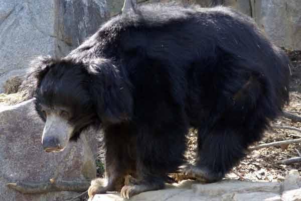 Медведь из Майсура
