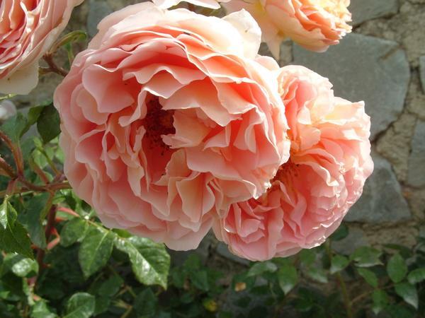 Особый шарм старинных роз плюс их роскошный аромат — 15 лучших романтических роз