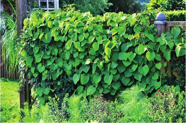 Надежный тыл: как сделать ширму из вьющихся растений