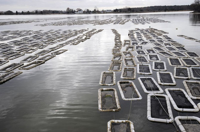 Как выращивают устрицы на фермах Чесапикского залива