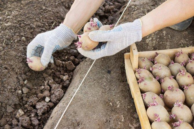 Способы выращивания картофеля: выращивание картофеля в траншеях