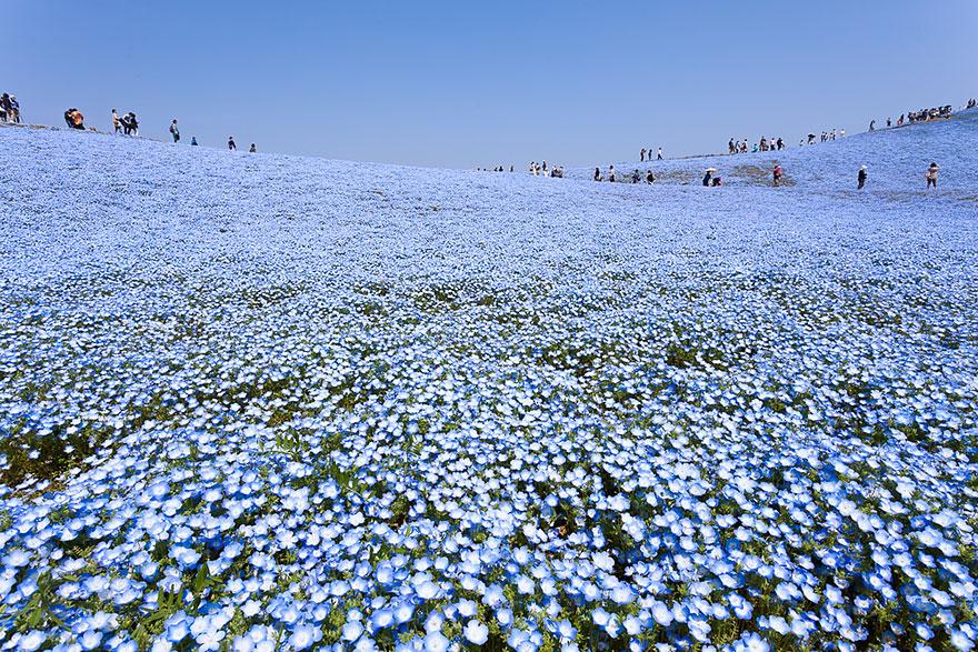 nemophilas-field-hitachi-seaside-park-2
