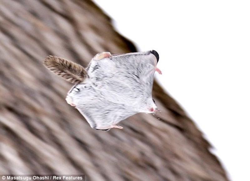squirrels07 Сибирские белки летяги   это нечто