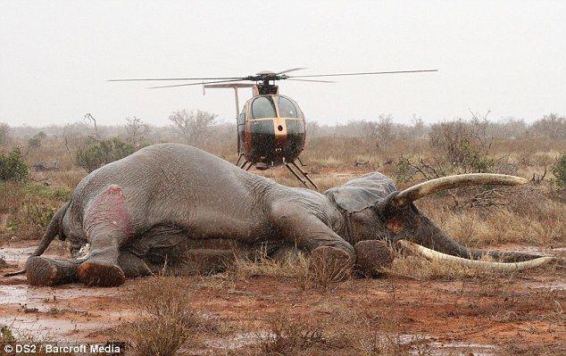Спасение раненого слона, в которого браконьеры выстрелили ядовитой стрелой
