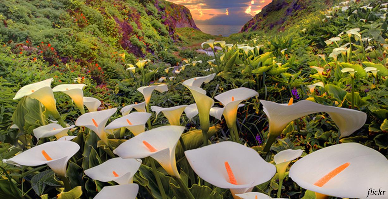 Долина диких калл - огромное чудо, которое мог сделать только Бог