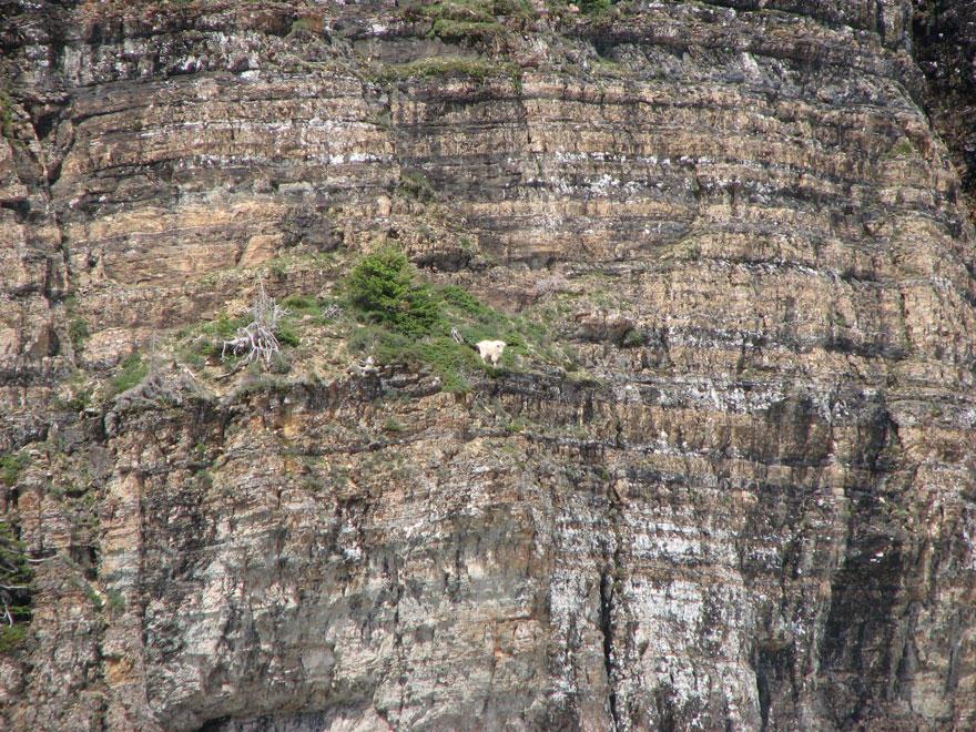 crazygoats02 Козлы, которым не ведома боязнь высоты
