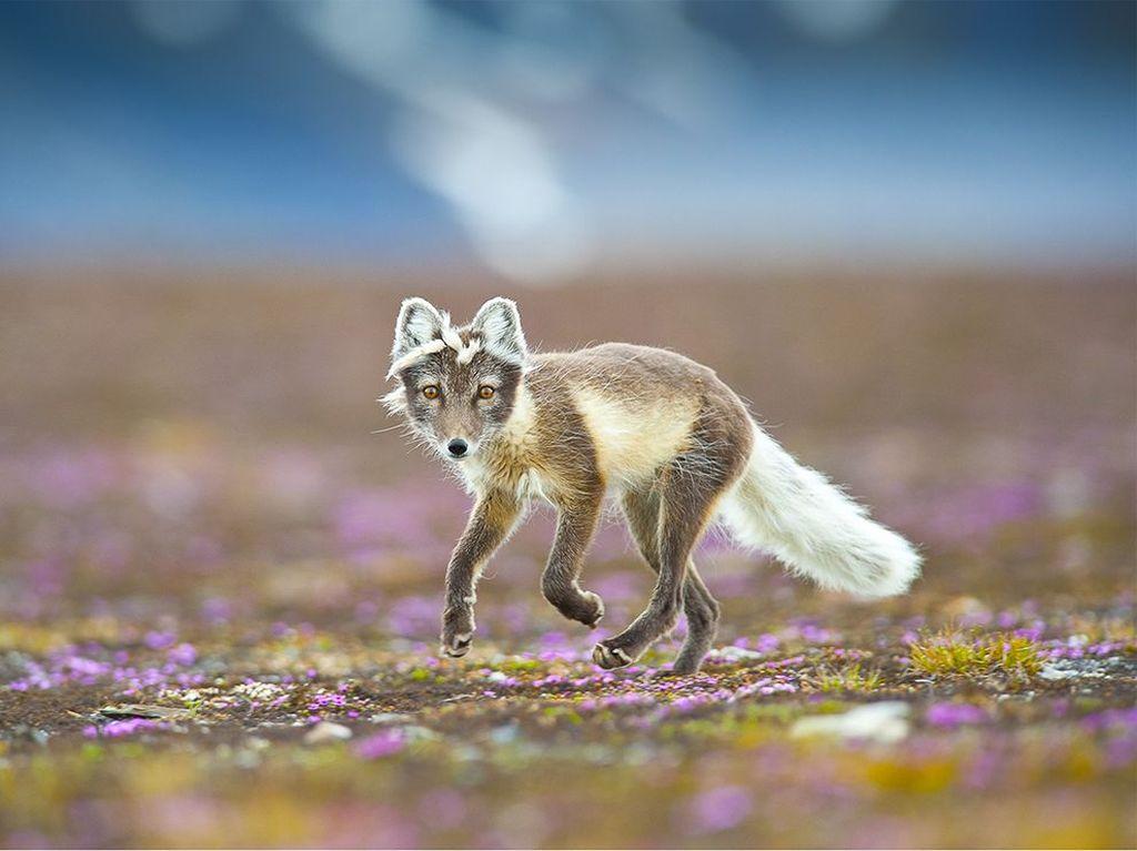 Как полярные лисицы «выращивают» собственные сады