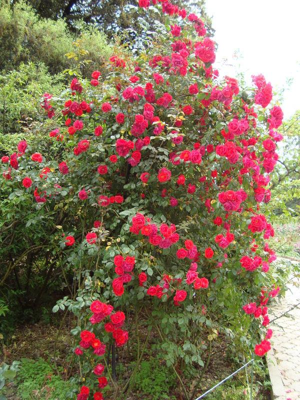 Роза сорт Красный Маяк