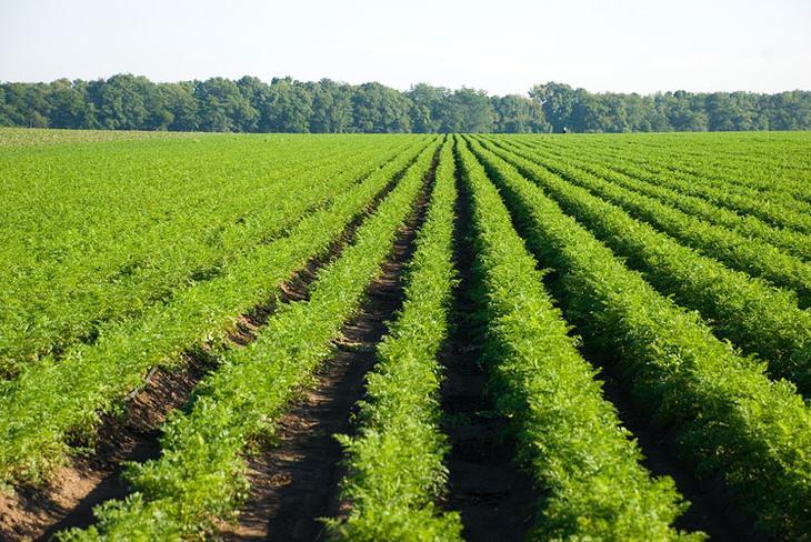 Зеленые удобрения и сидераты для огурцов
