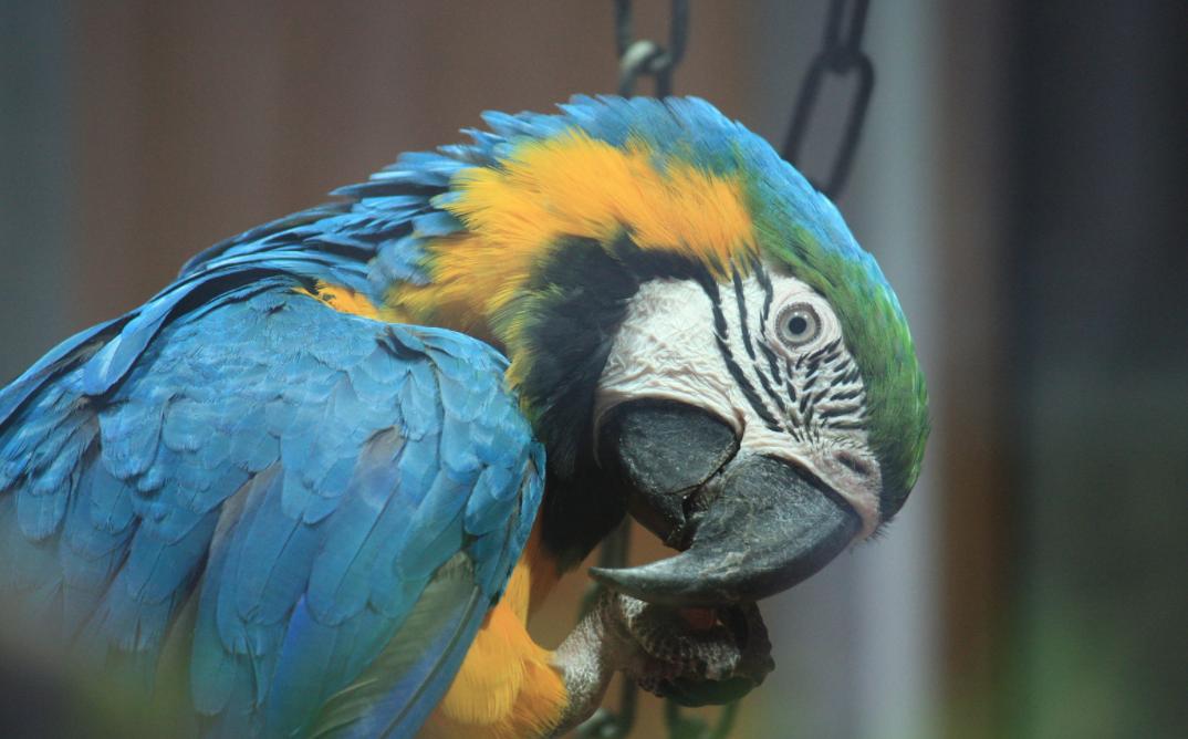 Учёные выяснили, кто первым начал разводить попугаев в неволе