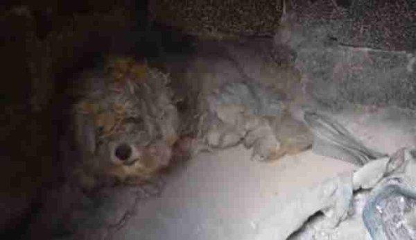 Невероятно! Чудо-собаку нашли живой в печи дома, уничтоженного лесным пожаром!