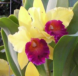 Цветочный гороскоп. Орхидея.