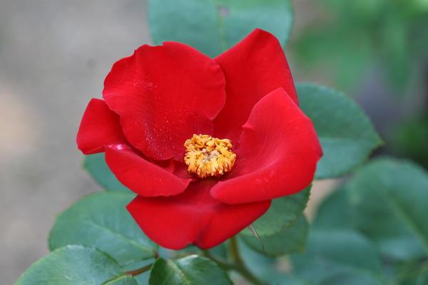 """Розы: очаровательные """"простушки"""""""