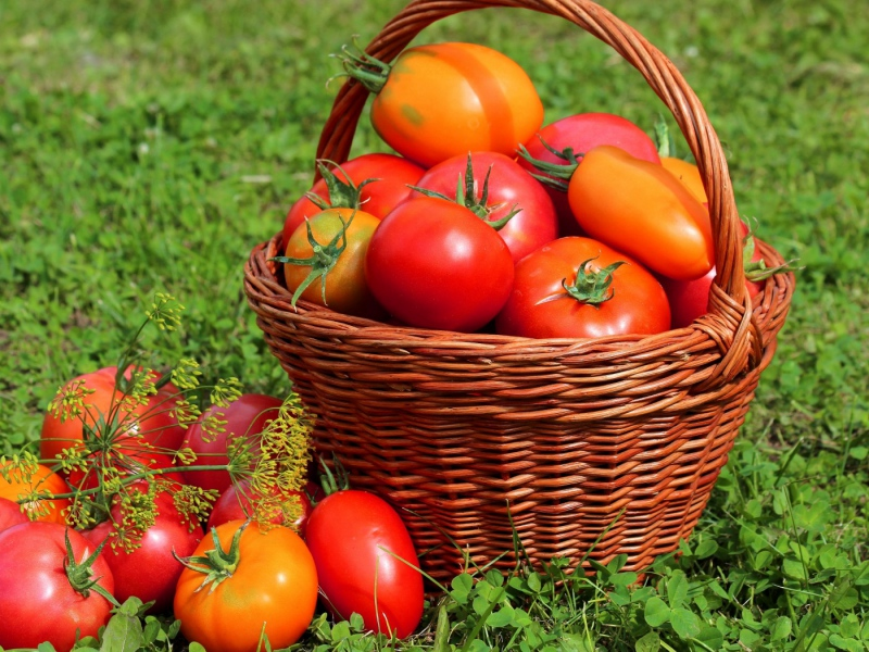 Пять секретов увеличения урожая помидоров на 150%