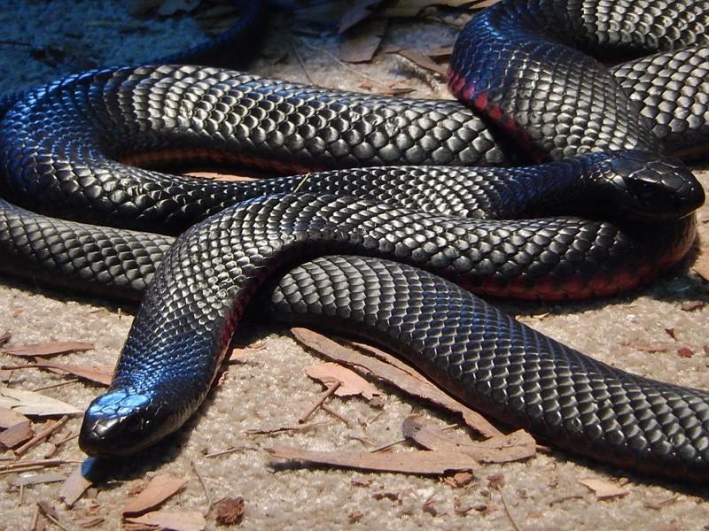 Всего на материке обитают 100 ядовитых змей австралия, змея