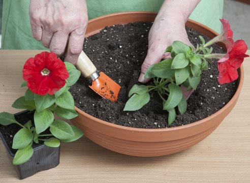 Как вырастить в домашних условиях петунию