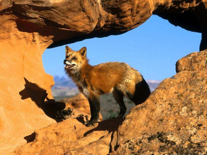 fox_20120409_00640_063 (700x500, 75Kb)