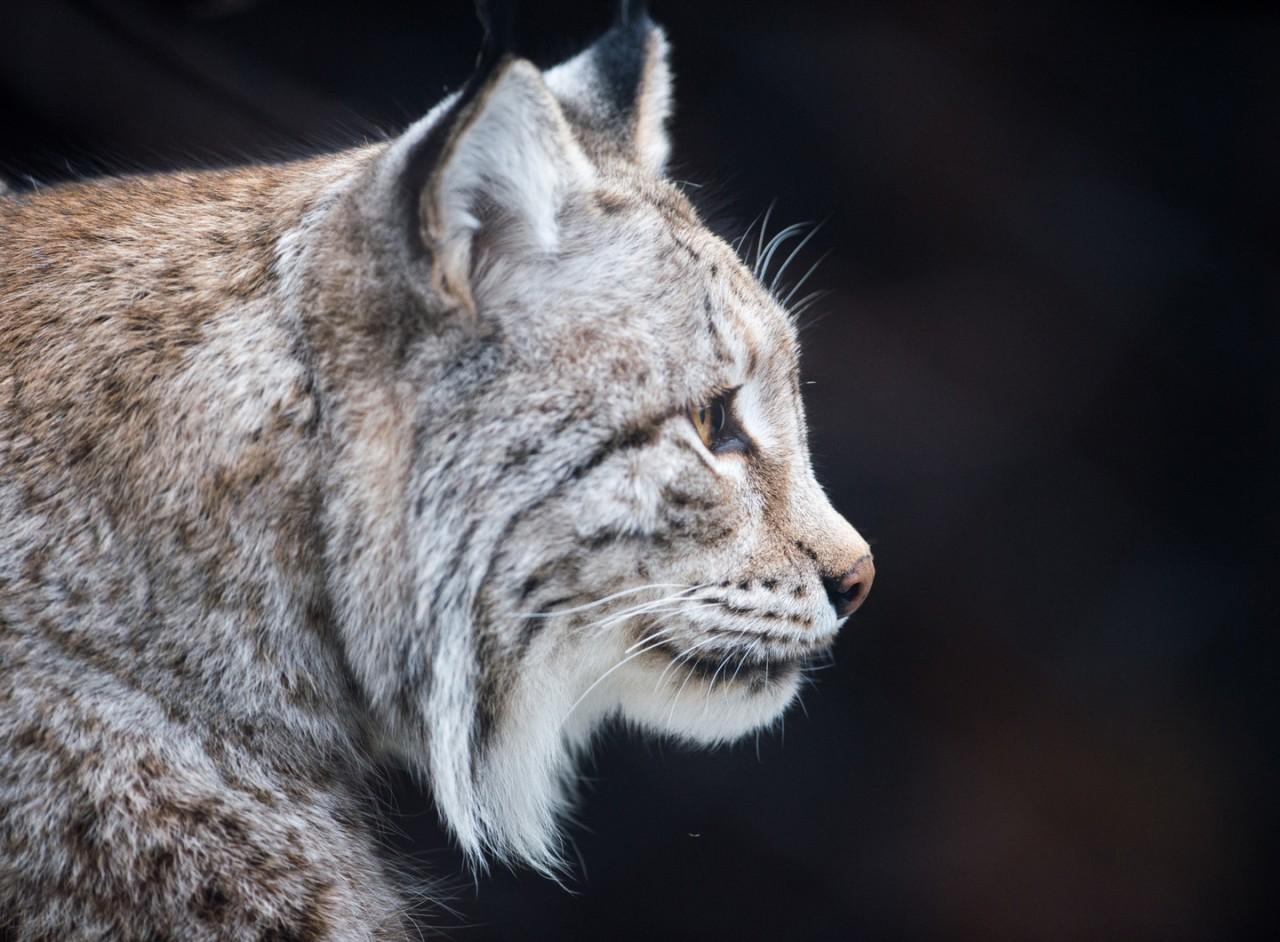 Жителя Камчатки оштрафовали на 60 тысяч рублей за убийство рыси