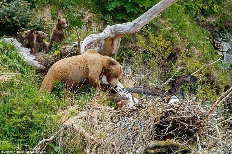 Голодная медведица совершает набег на орлиное гнездо
