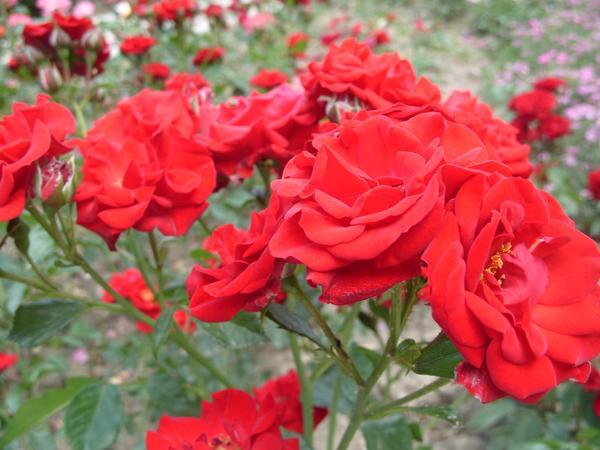 Роза флорибунда сорт Moulin Rouge