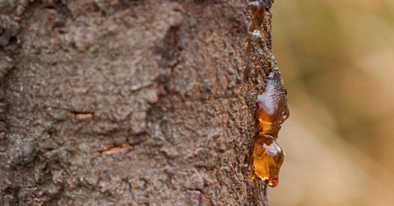 Лечебные свойства смолы деревьев