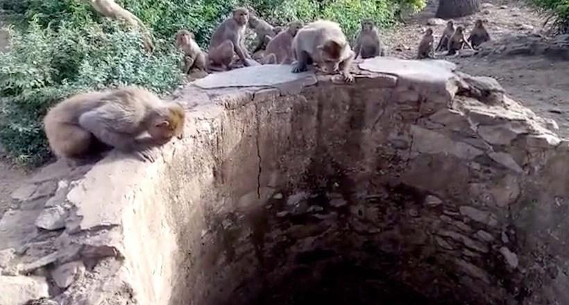 Видео: В Индии обезьяны спасли леопарда, упавшего в колодец с водой