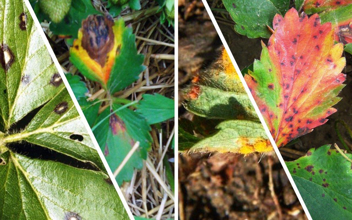 : пятна на листьях клубники