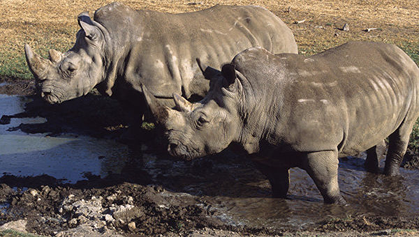 Умерла одна изпоследних напланете самок белого северного носорога