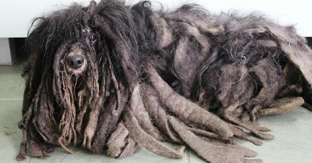 О псе не заботился хозяин… Его тело сковал «панцирь» из спутанной шерсти весом в 3 килограмма!