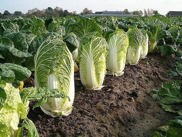 Самые важные секреты хорошего урожая пекинской капусты