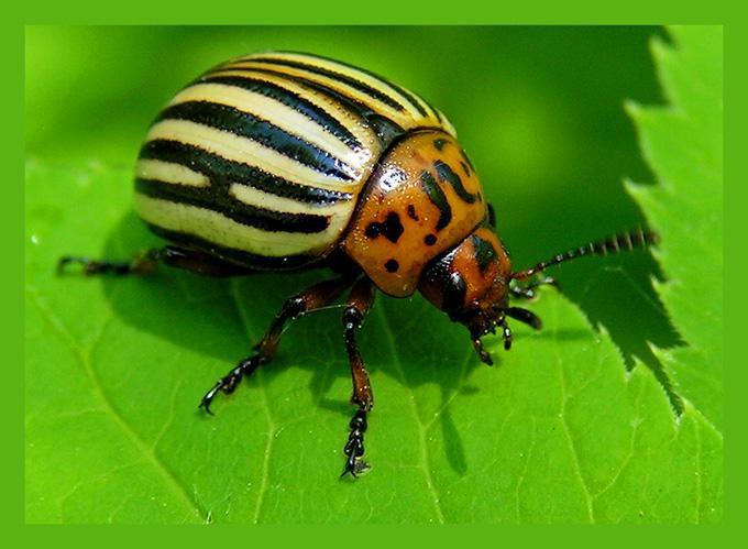 Проверенные народные способы борьбы с колорадскими жуками