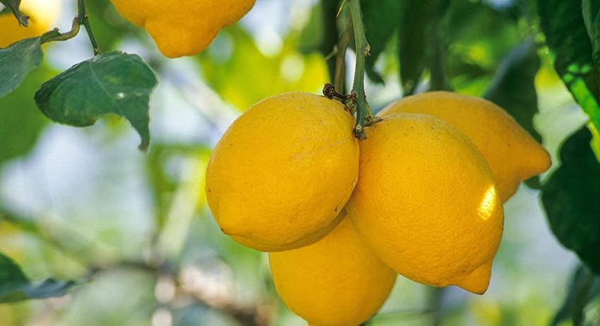 Лимон в США назвали признако…