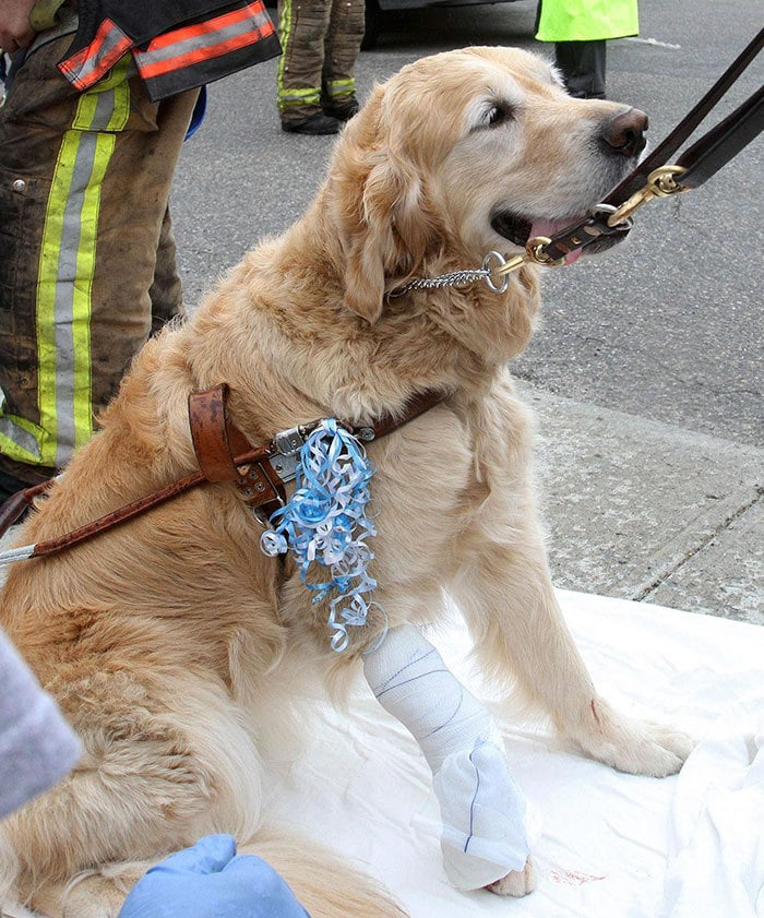 When This Service Dog, Figo, Saw A Bus Heading Towards His Blind Owner, He Jumped Between Them In Attempt To Take Most Of The Hit For Her