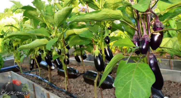 Формирование баклажанов - увеличиваем урожай в 10 раз