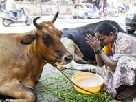 Защитники священных коров в Индии заставили перевозчиков говядины съесть навоз.