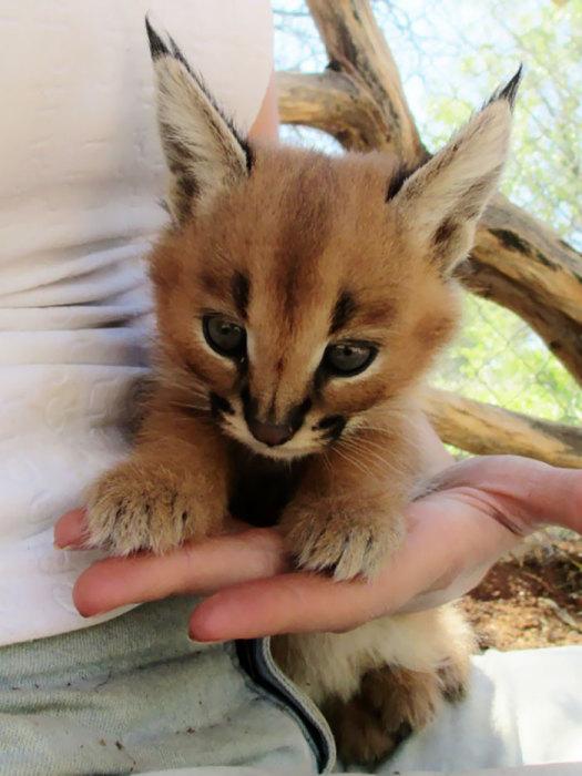 Эти котята-каракалы покорят любого с первого же взгляда. Ах, эти глаза! Ах-ах, эти ушки!!!