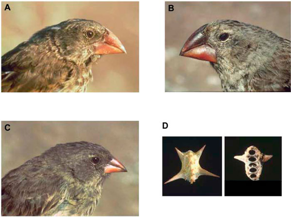 a_beak_size_locus_in_darwin_finches_facilitated_character_displacement_1_600