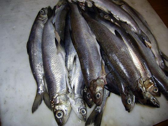 Рыбы наших водоёмов. РИПУС