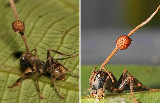 Гриб-паразит превращает муравья в «зомби»