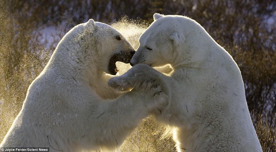 как дерутся белые медведи видео