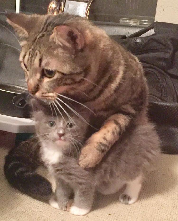 Домашний кот, который поддер…
