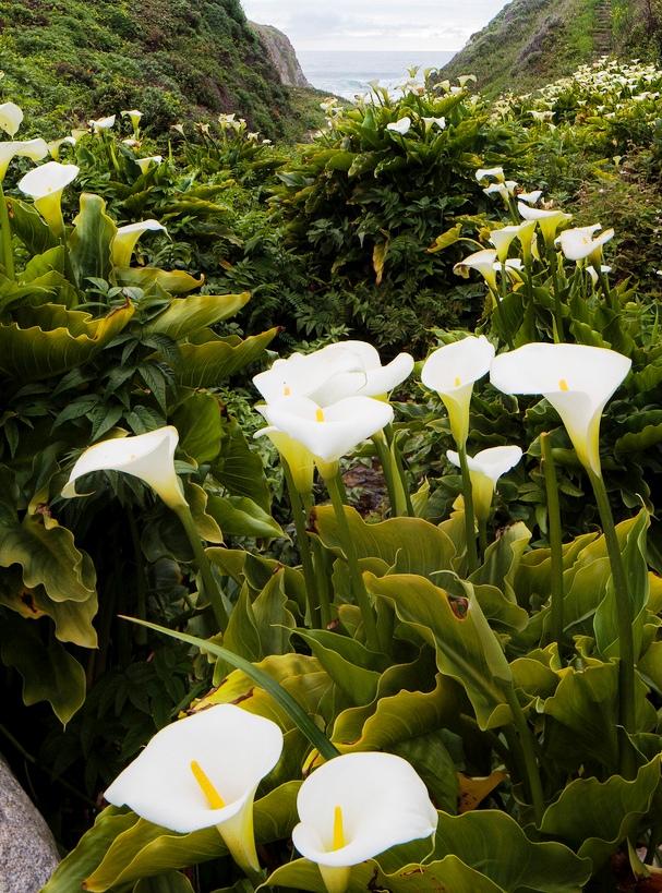 Дикие каллы на склонах цветут...Зрелище, которое восхитит любого!
