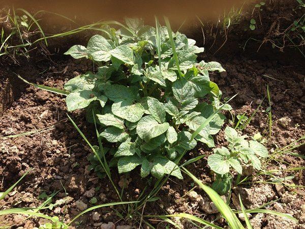 Подросший куст картофеля
