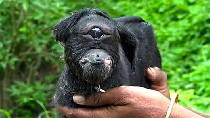 В Индии козла-мутанта с одним глазом, как у циклопа, считают божеством