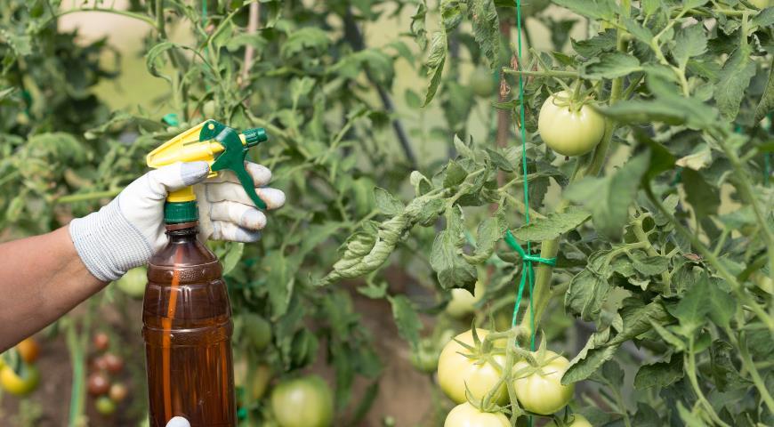 помидор, томат, обработка растений в теплице, защита помидоров от вредителей