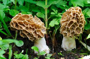 Какие грибы можно собирать в мае и июне?