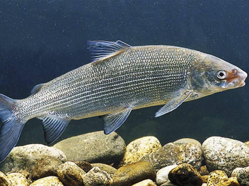Влияние соли на ценные породы рыб