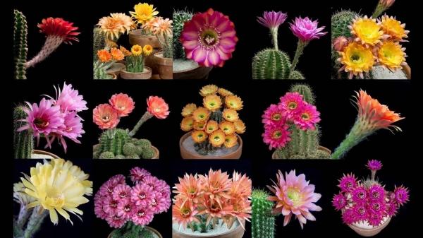 Как цветут кактусы: красота в замедленной съемке