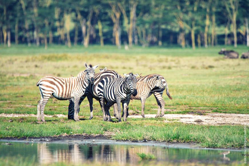 Зебры Гранта (Equus quagga boehmi)
