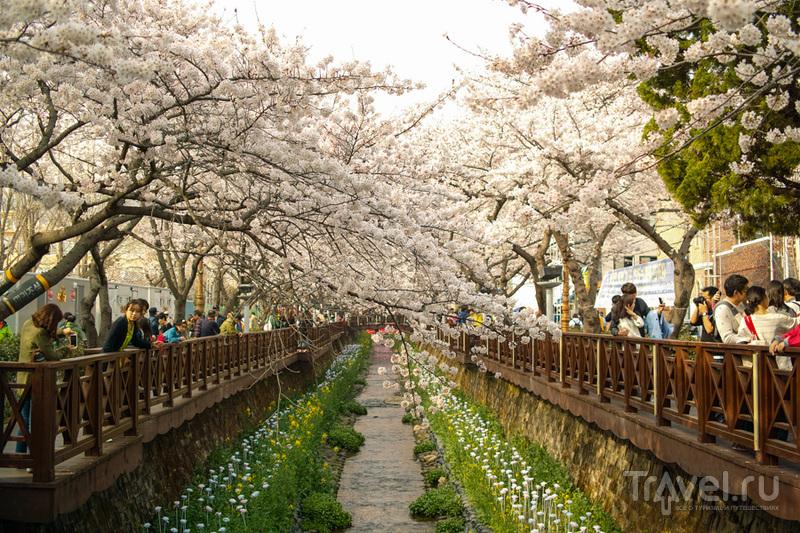 Как в Корее обстоят дела с сакурой